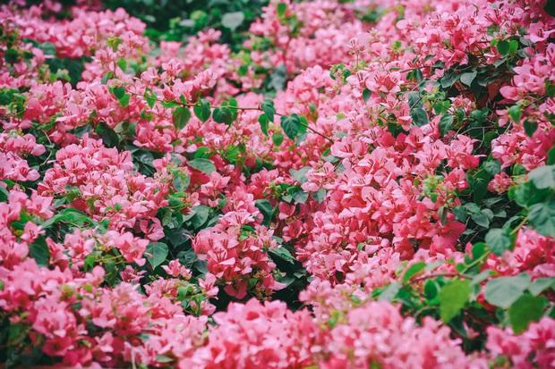 """Hà Nội vào mùa hoa giấy và đây là những góc chụp cực phẩm"""", chỉ sương sương vài dáng cũng đủ khiến chị em đứng ngồi không yên - Ảnh 5."""
