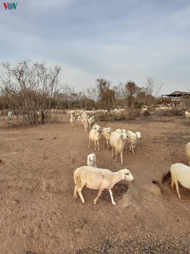 Khoảng 72.000 người dân Ninh Thuận có nguy cơ thiếu đói do hạn hán - Ảnh 1.
