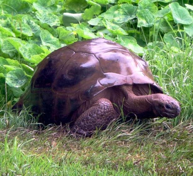 Cụ rùa khổng lồ sống qua 3 thế kỷ, chứng kiến nhiều sự kiện quan trọng của thế giới và đến giờ vẫn ung dung hưởng thái bình - Ảnh 2.