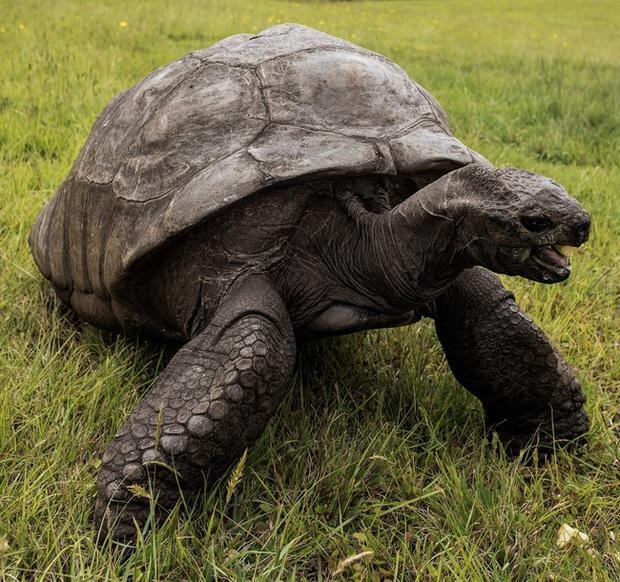 Cụ rùa khổng lồ sống qua 3 thế kỷ, chứng kiến nhiều sự kiện quan trọng của thế giới và đến giờ vẫn ung dung hưởng thái bình - Ảnh 3.