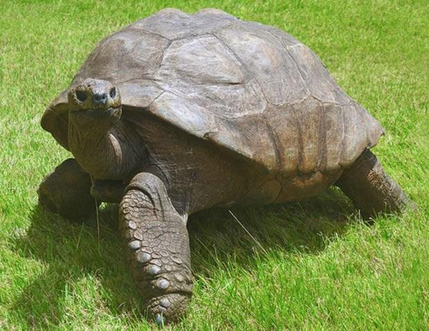 Cụ rùa khổng lồ sống qua 3 thế kỷ, chứng kiến nhiều sự kiện quan trọng của thế giới và đến giờ vẫn ung dung hưởng thái bình - Ảnh 4.