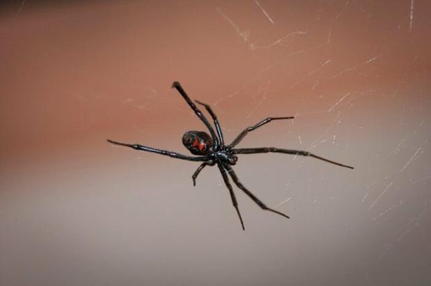 Bolivia: mơ trở thành Người Nhện, ba anh em ruột nhập viện vì bắt loài nhện cực độc cắn mình - Ảnh 2.