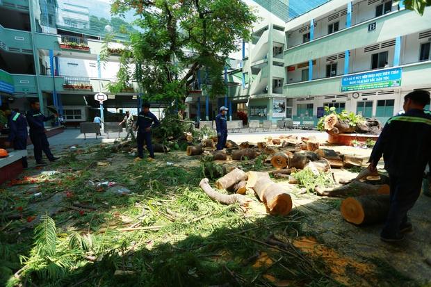 Cận cảnh gốc phượng vĩ mục ruỗng đổ gãy đè 13 học sinh thương vong ở Sài Gòn - Ảnh 1.