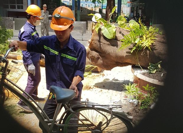 Cận cảnh gốc phượng vĩ mục ruỗng đổ gãy đè 13 học sinh thương vong ở Sài Gòn - Ảnh 7.