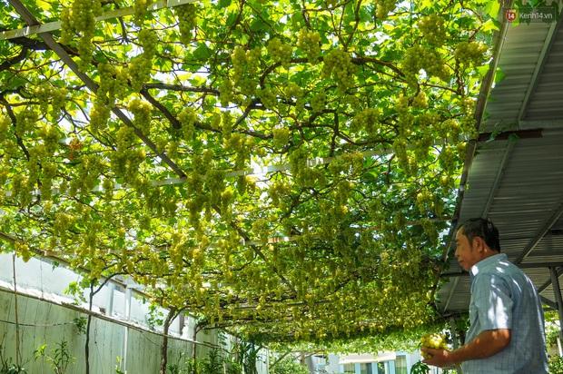 Vườn nho bê tông ở nhà phố Sài Gòn: Trồng chơi lấy bóng mát nhưng cho thu nhập khủng - Ảnh 2.