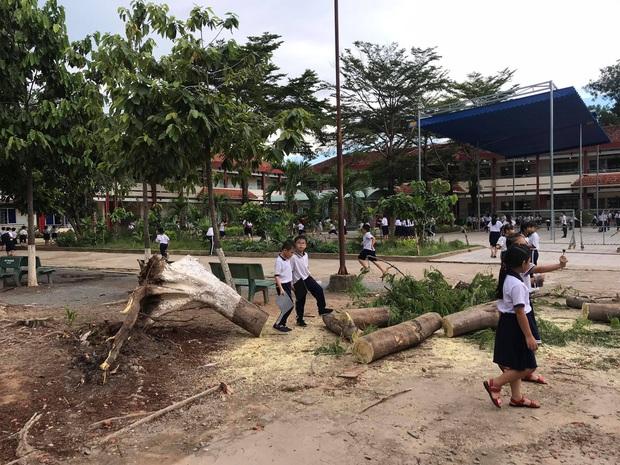 Bình Dương: Cây phượng trong sân trường bật gốc, ngã đổ ngay sau khi học sinh ra về - Ảnh 2.