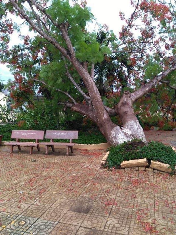 Lại thêm 1 cây phượng bật gốc ngã ở trường tiểu học - Ảnh 1.