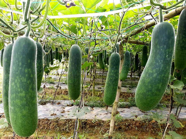 """Có nhiều loại vốn là trái cây nhưng đó giờ lại bị người ta """"đối xử"""" như rau củ, cái đầu tiên mới khiến nhiều người bất ngờ - Ảnh 6."""
