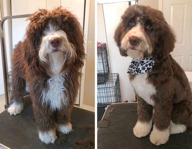 Loạt ảnh minh chứng sự khác biệt sau khi cắt tóc cho cún cưng: cứ như kiểu vừa nuôi thêm một em chó mới toanh vậy! - Ảnh 1.