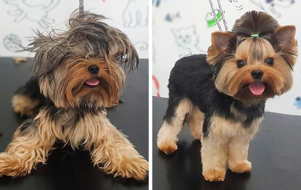 Loạt ảnh minh chứng sự khác biệt sau khi cắt tóc cho cún cưng: cứ như kiểu vừa nuôi thêm một em chó mới toanh vậy! - Ảnh 9.