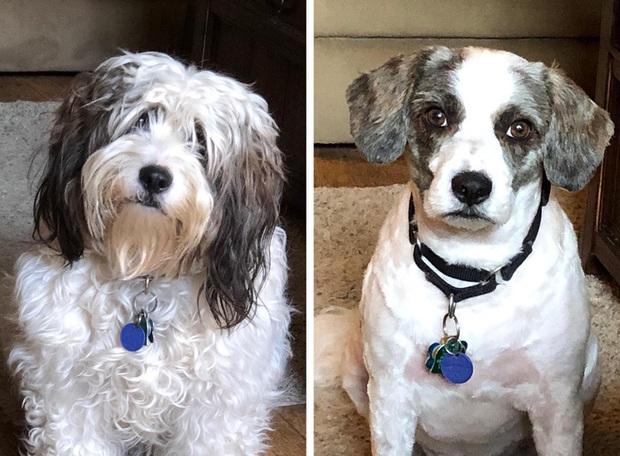 Loạt ảnh minh chứng sự khác biệt sau khi cắt tóc cho cún cưng: cứ như kiểu vừa nuôi thêm một em chó mới toanh vậy! - Ảnh 12.