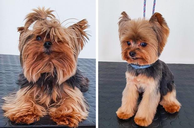 Loạt ảnh minh chứng sự khác biệt sau khi cắt tóc cho cún cưng: cứ như kiểu vừa nuôi thêm một em chó mới toanh vậy! - Ảnh 14.