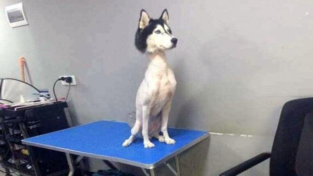 Loạt ảnh minh chứng sự khác biệt sau khi cắt tóc cho cún cưng: cứ như kiểu vừa nuôi thêm một em chó mới toanh vậy! - Ảnh 16.