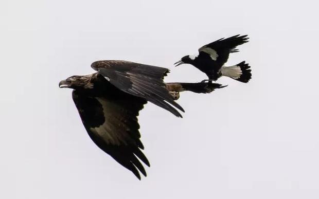 Khoảnh khắc chim ác là bé nhỏ ngang nhiên cưỡi đại bàng cực ấn tượng được ghi lại qua ống kính của nhiếp ảnh gia nghiệp dư - Ảnh 1.