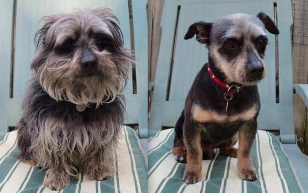 Loạt ảnh minh chứng sự khác biệt sau khi cắt tóc cho cún cưng: cứ như kiểu vừa nuôi thêm một em chó mới toanh vậy! - Ảnh 6.