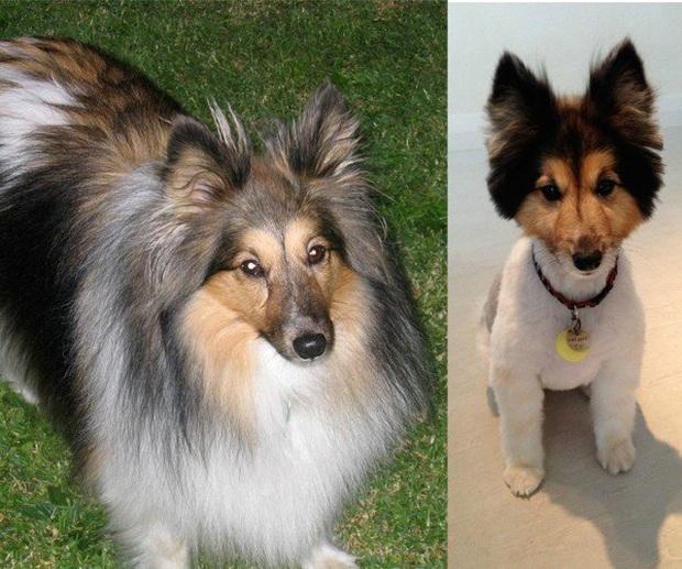 Loạt ảnh minh chứng sự khác biệt sau khi cắt tóc cho cún cưng: cứ như kiểu vừa nuôi thêm một em chó mới toanh vậy! - Ảnh 7.