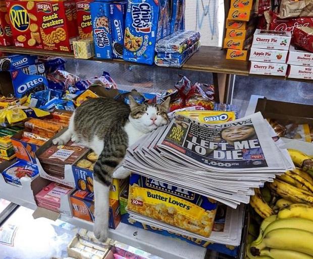 Tuyển tập những chú mèo chăm chỉ ngồi trông hàng và sở hữu phong thái như thể chính chúng nó mới là ông chủ - Ảnh 1.