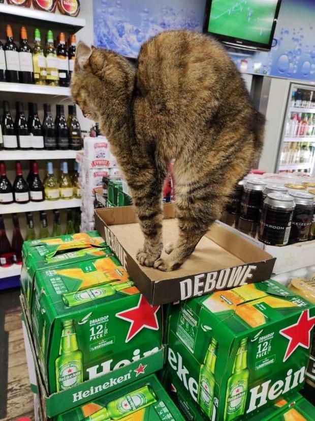 Tuyển tập những chú mèo chăm chỉ ngồi trông hàng và sở hữu phong thái như thể chính chúng nó mới là ông chủ - Ảnh 5.
