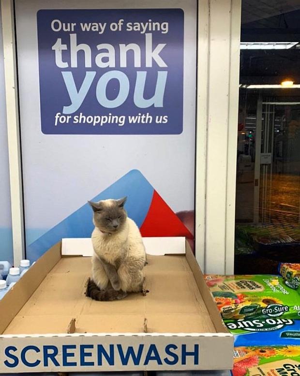 Tuyển tập những chú mèo chăm chỉ ngồi trông hàng và sở hữu phong thái như thể chính chúng nó mới là ông chủ - Ảnh 9.