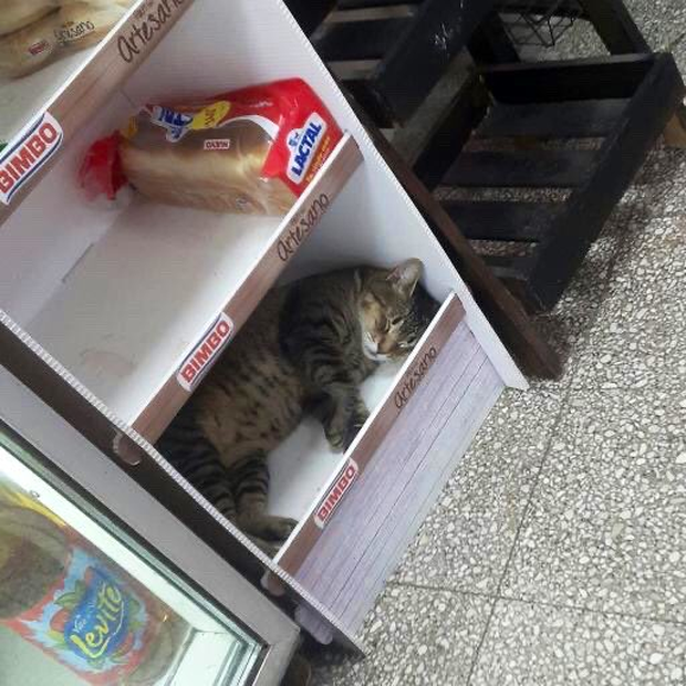 Tuyển tập những chú mèo chăm chỉ ngồi trông hàng và sở hữu phong thái như thể chính chúng nó mới là ông chủ - Ảnh 12.