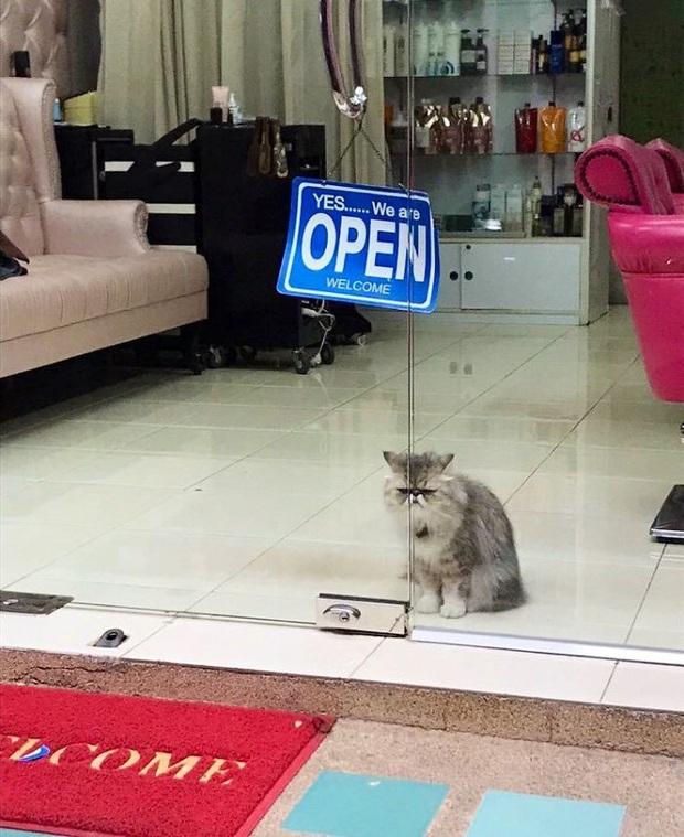 Tuyển tập những chú mèo chăm chỉ ngồi trông hàng và sở hữu phong thái như thể chính chúng nó mới là ông chủ - Ảnh 13.