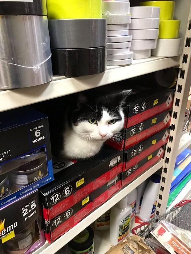 Tuyển tập những chú mèo chăm chỉ ngồi trông hàng và sở hữu phong thái như thể chính chúng nó mới là ông chủ - Ảnh 15.
