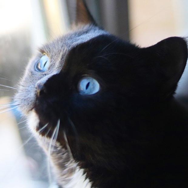 Gặp những chú mèo hai mặt có năng lực đốn tim cực mạnh khiến cư dân mạng ngắm mãi không thôi - Ảnh 11.