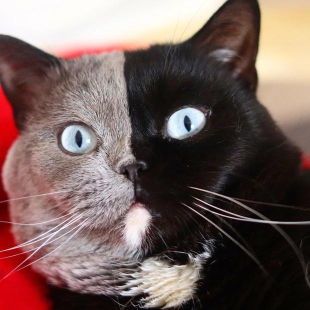 Gặp những chú mèo hai mặt có năng lực đốn tim cực mạnh khiến cư dân mạng ngắm mãi không thôi - Ảnh 12.