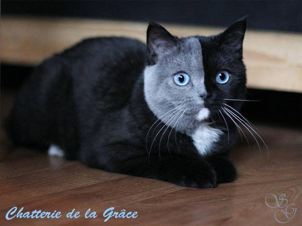 Gặp những chú mèo hai mặt có năng lực đốn tim cực mạnh khiến cư dân mạng ngắm mãi không thôi - Ảnh 13.