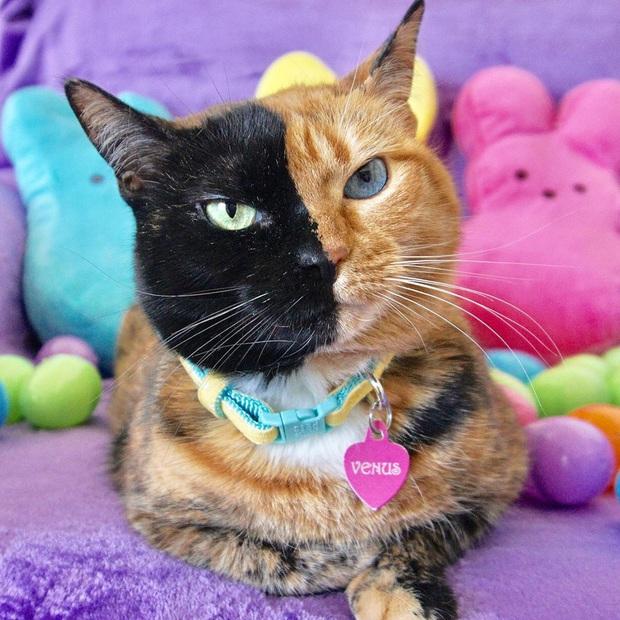 Gặp những chú mèo hai mặt có năng lực đốn tim cực mạnh khiến cư dân mạng ngắm mãi không thôi - Ảnh 7.