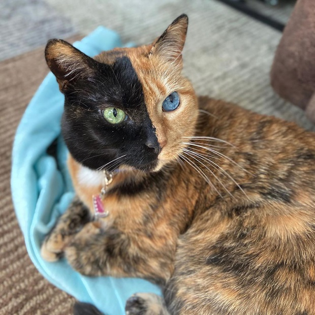 Gặp những chú mèo hai mặt có năng lực đốn tim cực mạnh khiến cư dân mạng ngắm mãi không thôi - Ảnh 9.