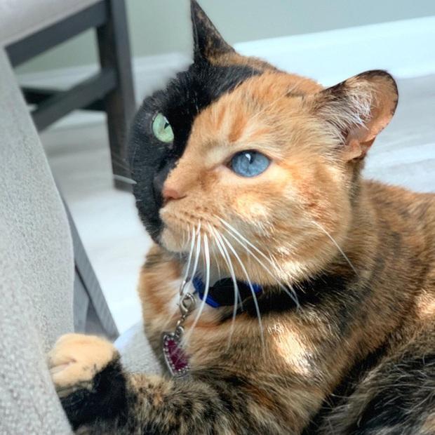 Gặp những chú mèo hai mặt có năng lực đốn tim cực mạnh khiến cư dân mạng ngắm mãi không thôi - Ảnh 10.