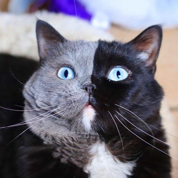 Gặp những chú mèo hai mặt có năng lực đốn tim cực mạnh khiến cư dân mạng ngắm mãi không thôi - Ảnh 15.