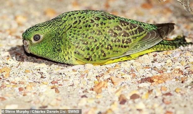 Thất bại của tiến hóa là có thật: Loài vẹt siêu hiếm đang khiến các nhà khoa học phải lắc đầu ngán ngẩm bảo sao mà sắp tuyệt chủng - Ảnh 3.