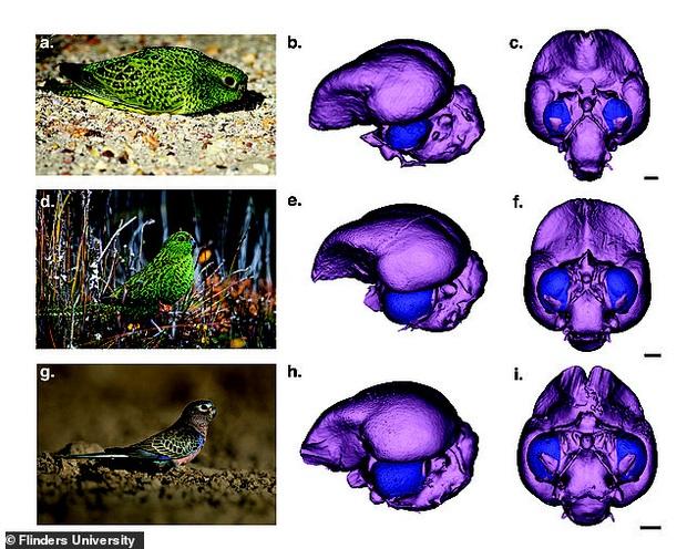 Thất bại của tiến hóa là có thật: Loài vẹt siêu hiếm đang khiến các nhà khoa học phải lắc đầu ngán ngẩm bảo sao mà sắp tuyệt chủng - Ảnh 2.