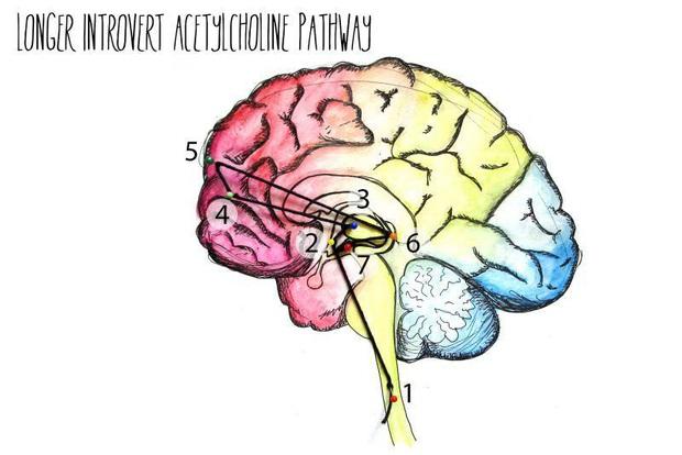 Bên trong não người hướng nội có gì mà khiến họ hay bị hiểu nhầm là nhút nhát, thụ động, ít nói? - Ảnh 4.