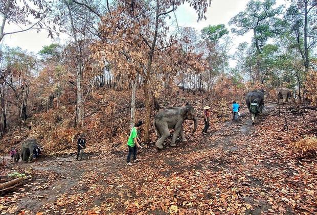 Thất nghiệp vì Covid-19, hàng ngàn chú voi Thái Lan đi bộ về quê - Ảnh 1.