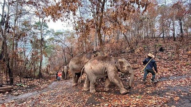 Thất nghiệp vì Covid-19, hàng ngàn chú voi Thái Lan đi bộ về quê - Ảnh 2.