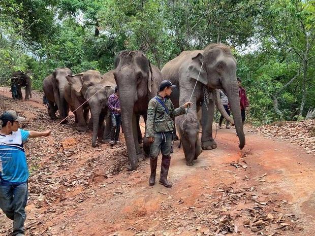 Thất nghiệp vì Covid-19, hàng ngàn chú voi Thái Lan đi bộ về quê - Ảnh 4.