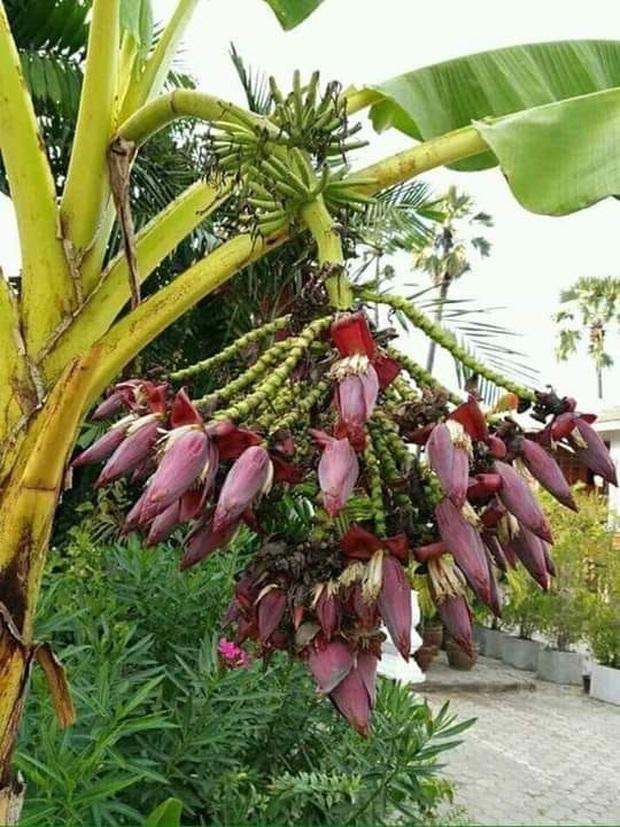 Thực hư cây chuối bé tí nhưng cho ra tới hàng chục búp hoa đang gây xôn xao MXH: Kiểu này hái vào thì làm được khối món ngon - Ảnh 2.
