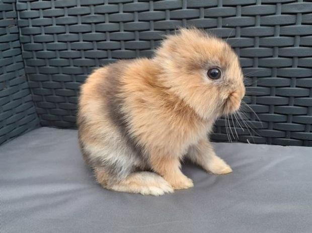 Bị mất tai bẩm sinh, chú thỏ con vẫn đốn tim cộng đồng mạng vì vẻ ngoài độc đáo và vô cùng đáng yêu của mình - Ảnh 1.