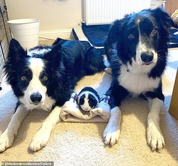 Sống cùng nhà với cặp chó có màu lông y hệt quá lâu, chuột lang riết cũng tưởng mình là đồng loại của chúng - Ảnh 1.
