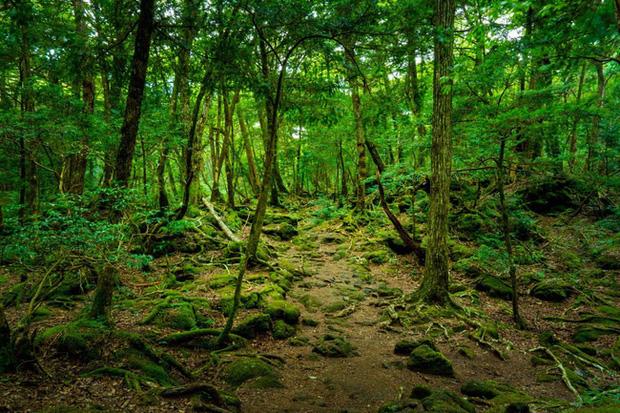 Khu rừng tự sát Aokigahara: Nơi tăm tối và im lặng tuyệt đối với những câu chuyện rùng rợn đầy ám ảnh - Ảnh 1.