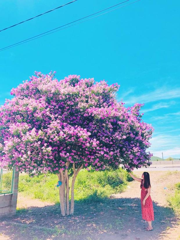 Cây bằng lăng cô đơn ở Bình Thuận nở hoa tím rợp trời, chụp góc nào cũng đẹp khiến ai nấy mê mẩn - Ảnh 2.