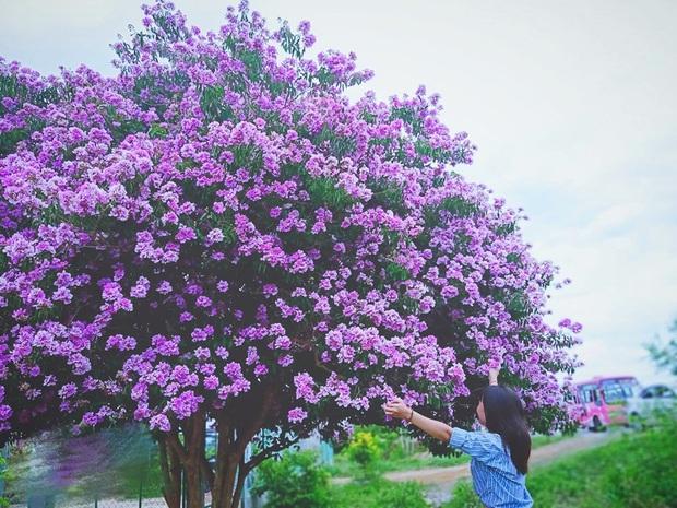 Cây bằng lăng cô đơn ở Bình Thuận nở hoa tím rợp trời, chụp góc nào cũng đẹp khiến ai nấy mê mẩn - Ảnh 3.