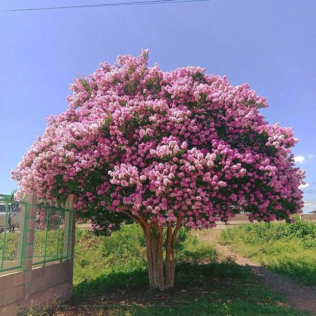 Cây bằng lăng cô đơn ở Bình Thuận nở hoa tím rợp trời, chụp góc nào cũng đẹp khiến ai nấy mê mẩn - Ảnh 4.