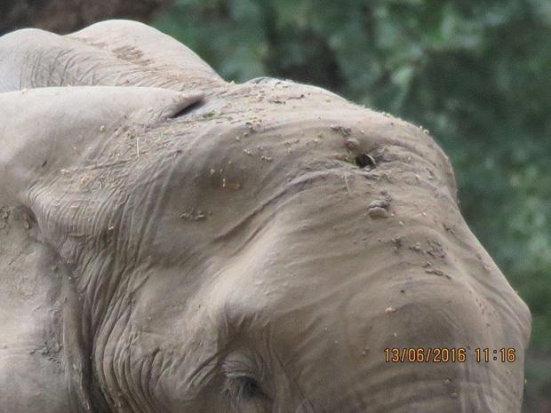 Kiểm tra lỗ thủng kỳ lạ trên đầu chú voi, bác sỹ thú y phát hiện sự thật đau buồn nhưng cũng bất ngờ vì cách hành xử của con vật - Ảnh 1.