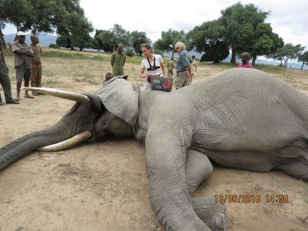 Kiểm tra lỗ thủng kỳ lạ trên đầu chú voi, bác sỹ thú y phát hiện sự thật đau buồn nhưng cũng bất ngờ vì cách hành xử của con vật - Ảnh 7.