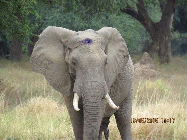 Kiểm tra lỗ thủng kỳ lạ trên đầu chú voi, bác sỹ thú y phát hiện sự thật đau buồn nhưng cũng bất ngờ vì cách hành xử của con vật - Ảnh 10.