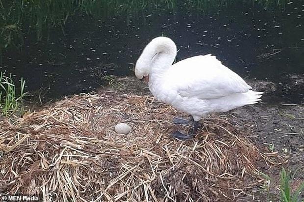 Tổ trứng bị nhóm thiếu nhiên ném vỡ nát, chim thiên nga mẹ gục chết ngay bên cạnh vì quá đau lòng - Ảnh 3.